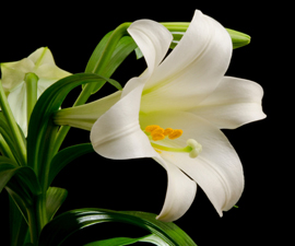 Easter Lily_web