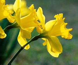 daffodils-sm_web